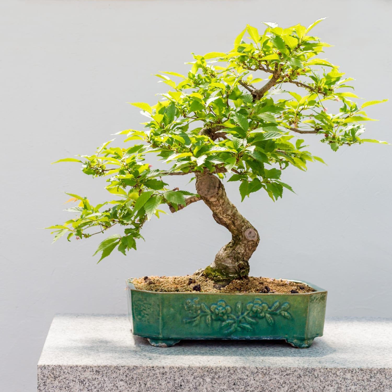 Bonsai Strader S Garden Centers