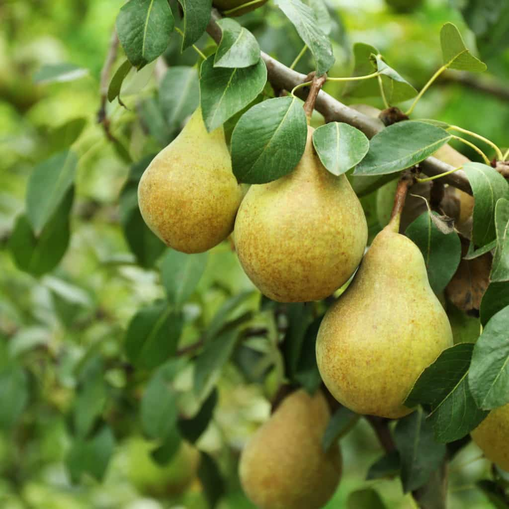 Fruit trees in Columbus Ohio