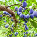 Fruit Trees from Strader's Garden Center