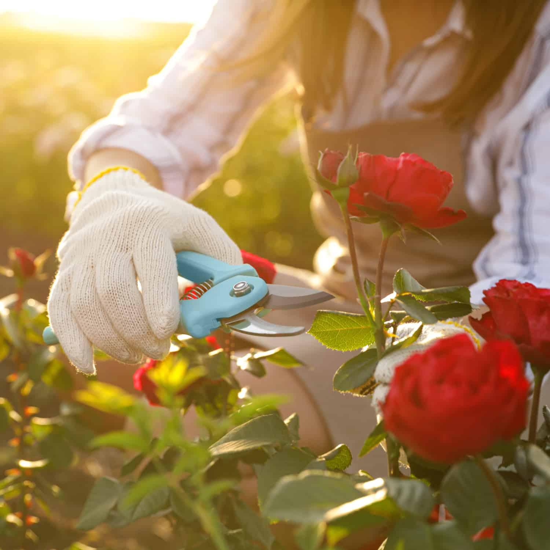 Rose Gardens at Strader's Nursery