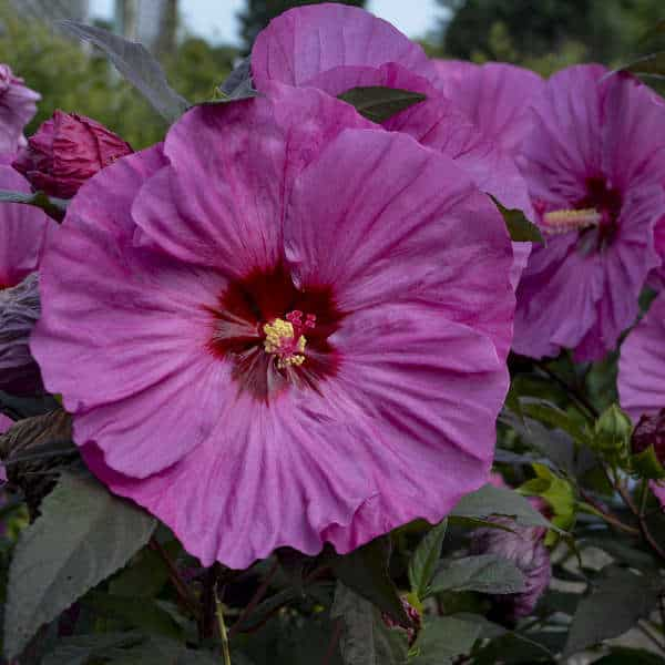Strader's Hibiscus Flower in Rich Purple