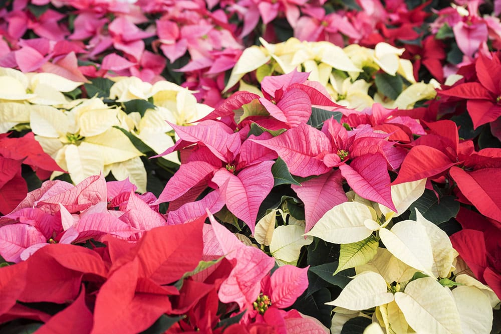 Poinsettias from Strader's Garden Center