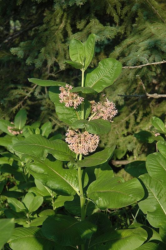 Milkweed pollinator flower at Strader's garden centers
