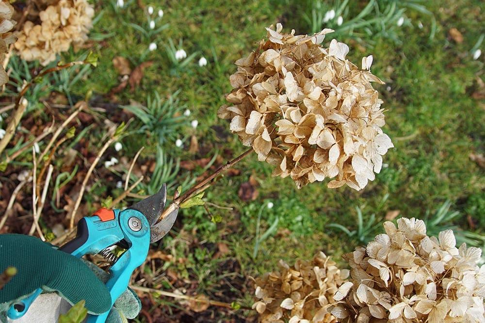 Dried Hydrangea Flowers at Strader's Garden Centers